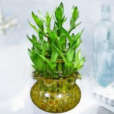 Lucky Bamboo for Good Feng Shui