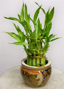 Lucky Bamboo and the 5 Elements