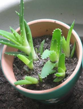 How to grow Aloe Vera at home