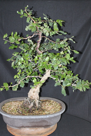 Oak tree bonsai